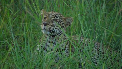 Masai Mara, Kenya - March, 2018: View of a focused leopard.
