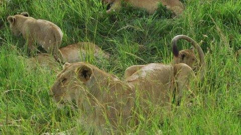 Masai Mara, Kenya - March, 2018: Lioness and lion cubs in the savannah.