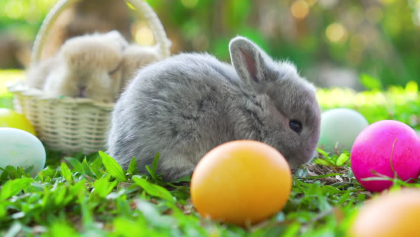 Adorable little brown easter bunny holland lop eating a grass, at near Easter eggs. Close up shot, slow motion