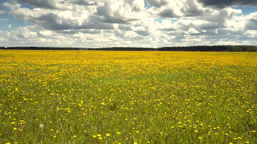 Tremendous panorama endless blooming dandelion field and distant forest under pictorial sky with bouffant white clouds   Shutterstock HD Video #1023732508