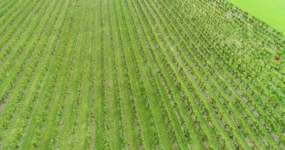 Beautiful Drone Shot of Vineyard, Aerial Drone Vines Winery   Shutterstock HD Video #1023777229