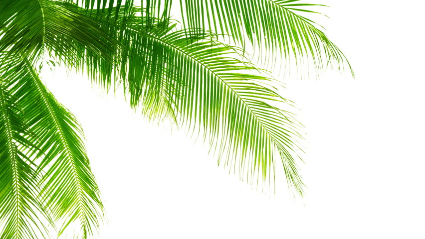 Palm leaves isolated on white background. Good material for video-collages. Video 4k