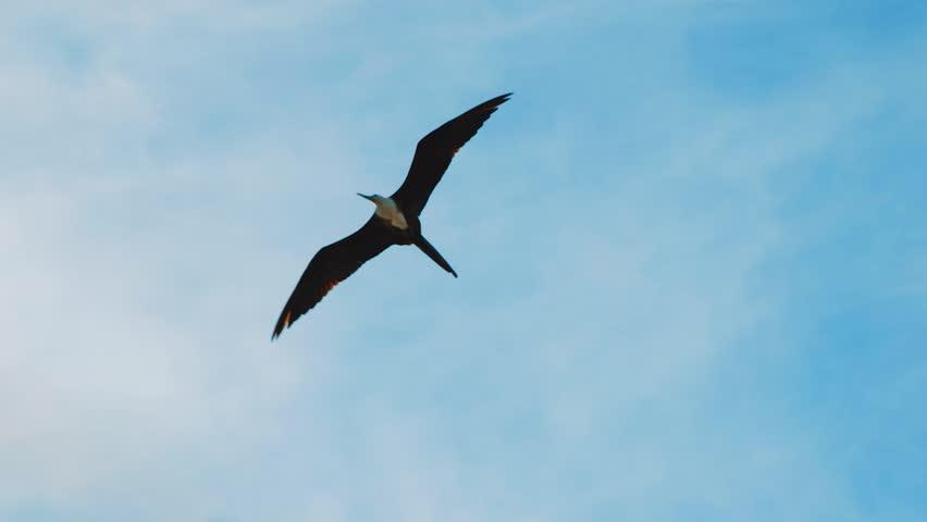 Female Frigatebird with white breast soaring high in Caribbean cloudy sky   Shutterstock HD Video #1023874774