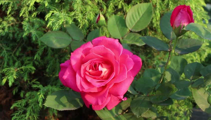 Rose flowers bloom in the garden   Shutterstock HD Video #1023901696