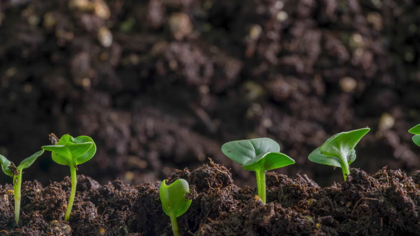 Vegetable seed germination withcamera panning macro view of farmer field as seeds grow. Royalty-Free Stock Footage #1023929464