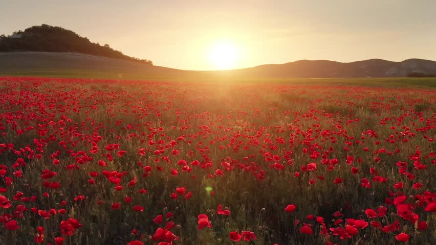 Flight over field of red poppies at sunset. Beautiful flowers and spring nature composition. | Shutterstock HD Video #1024246877