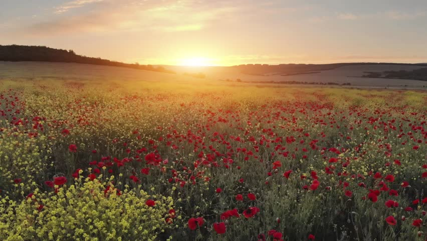 Flight over field of red poppies at sunset. Beautiful flowers and spring nature composition.