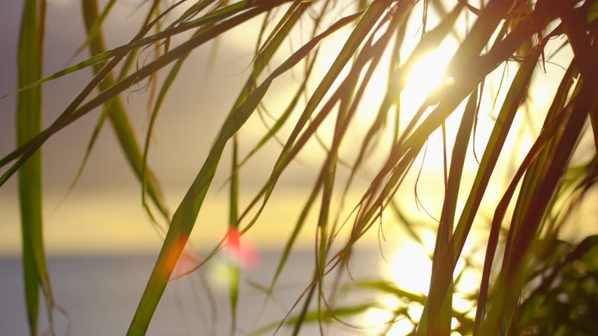 Grass Blowing In Wind At Sunset. Slow motion.   Shutterstock HD Video #1024318691