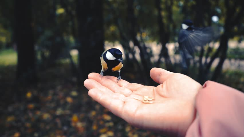 Feeding birds with hands. Great Tit eats seeds in the forest in the lake or in the river. Beautiful Wildlife.