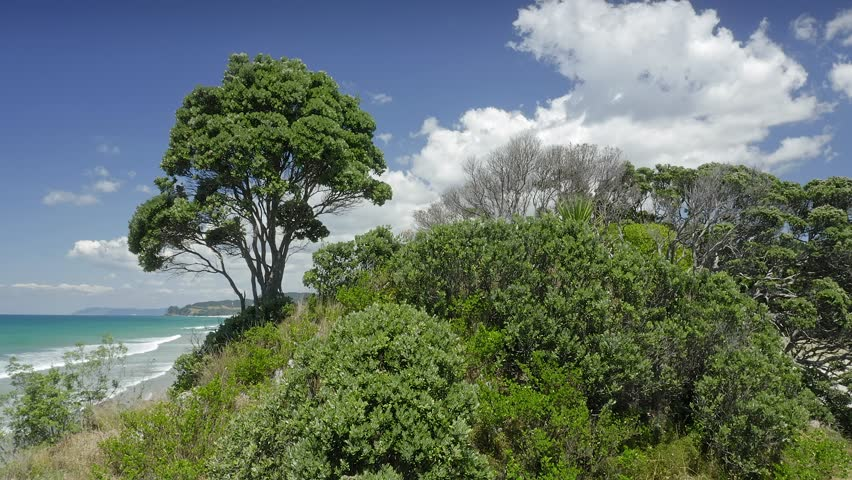Aerial: Flying over a pohutukawa tree on a small island at low tide. The emerald colored waves are crashing over a sandy beach Opoutere, Coromandel, New Zealand