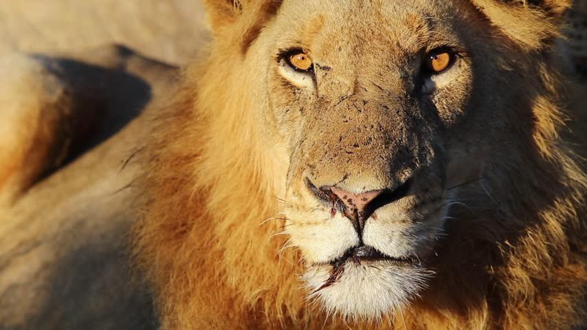 Battle Scarred Lion In Golden Sunlight. Close Up. | Shutterstock HD Video #1024399697