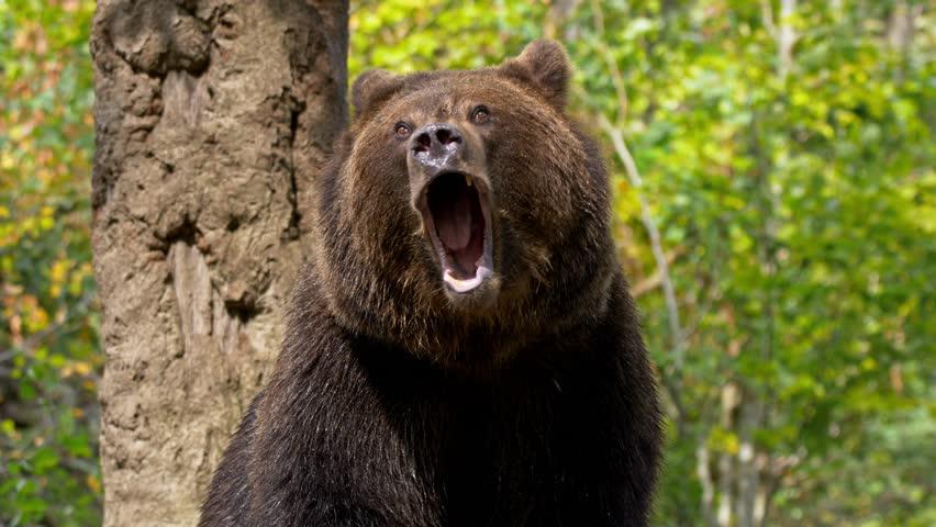 Brown bear (Ursus arctos) roaring