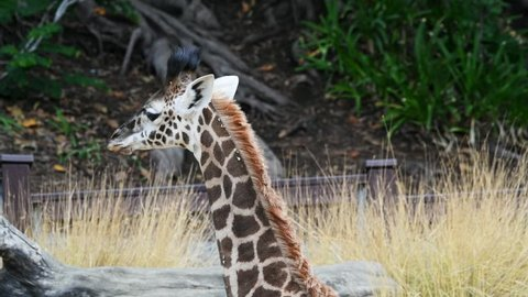 Mother giraffe gently kissed her new born baby.