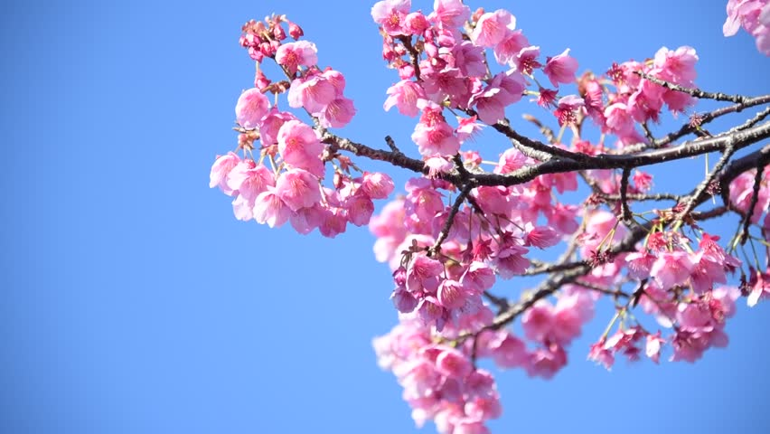 Japanese Cherry Blossoms Stock Footage Video 100 Royalty