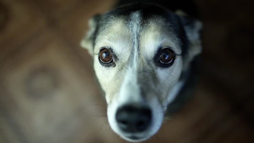 Sad dog looks into the camera at home and asks, sincere pet