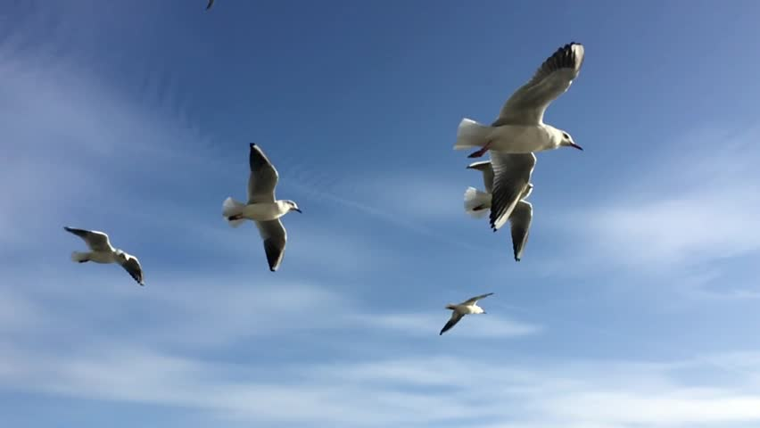 Seagulls flying against the blue sky. Flock of birds flies in strong winds. Slow motion. Closeup video.
