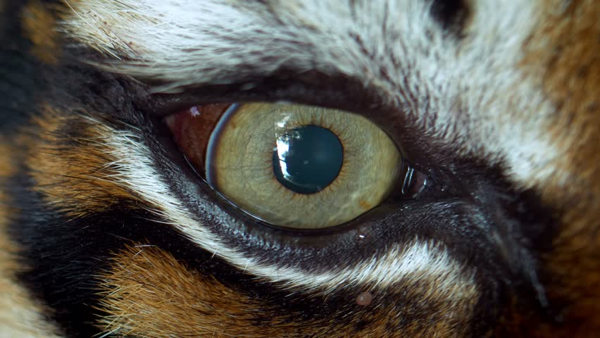 Close up of Sumatran tiger (Panthera tigris sumatrae) eye #1024721510