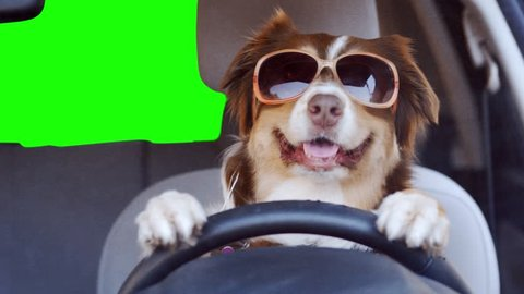 A Dog Driving a Car Stock Footage Video (100% Royalty-free) 1024867412 | Shutterstock
