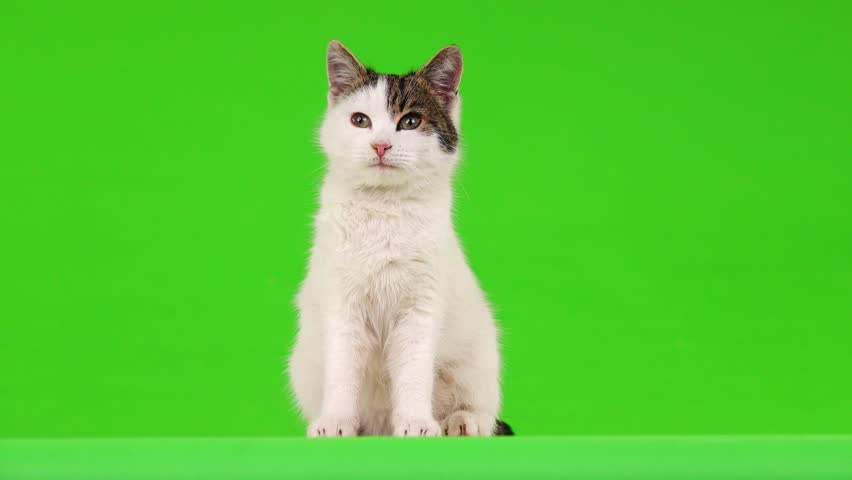 White cat, view in different directions, on the green screen