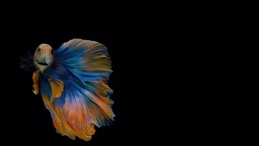 Super slow motion of Siamese fighting fish (Betta splendens), well known name is Plakat Thai, Betta is a species in the gourami family, which is a popular fish in the aquarium trade #1024905818