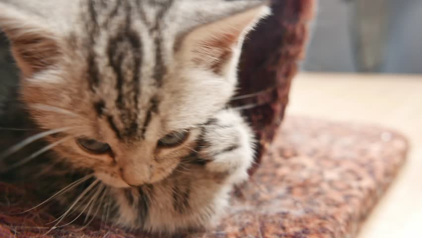 Cut baby tabby kitten playing, close up