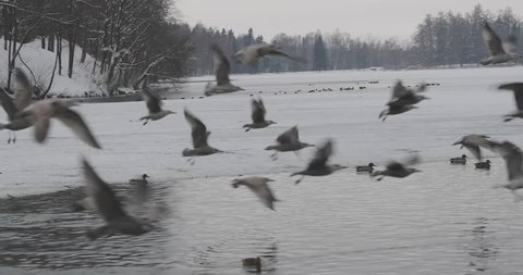 flock of birds flying over the pond in the park in slow motion