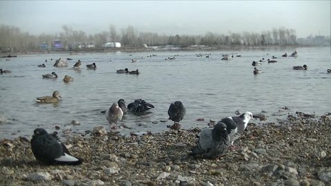 Birds swim in the water - Pigeons climb into the water - shake off - rocky shore - in the distance forest, city