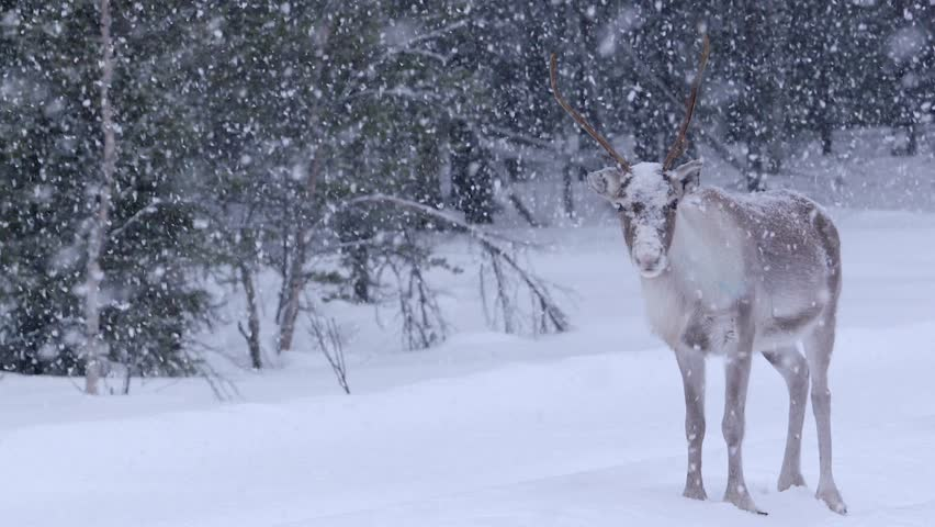 Single male Reindeer facing the camera in the forest in Lapland, Sweden. Nordic Reindeers / Deers in the snowy Lapland