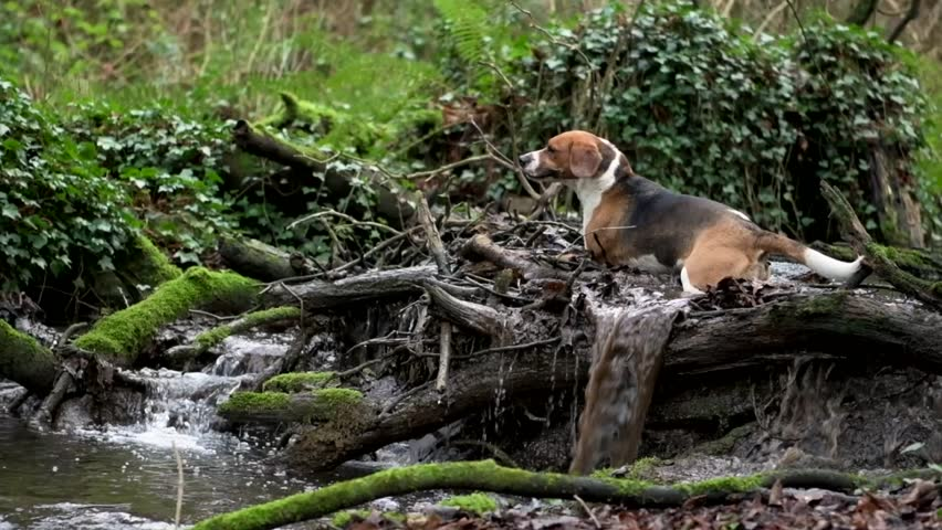 A beagle dog splashes about in a river stream on top of a natural dam.