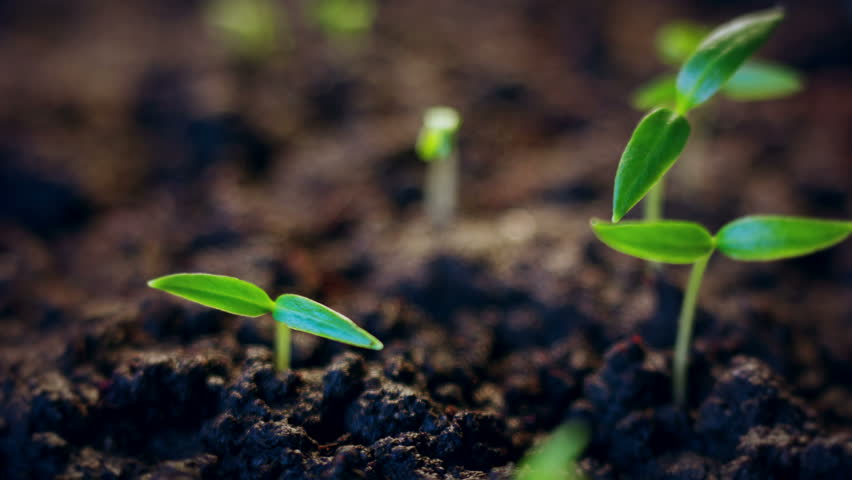 Time lapse of vegetable seeds growing or sprouting from the ground. #1025165774