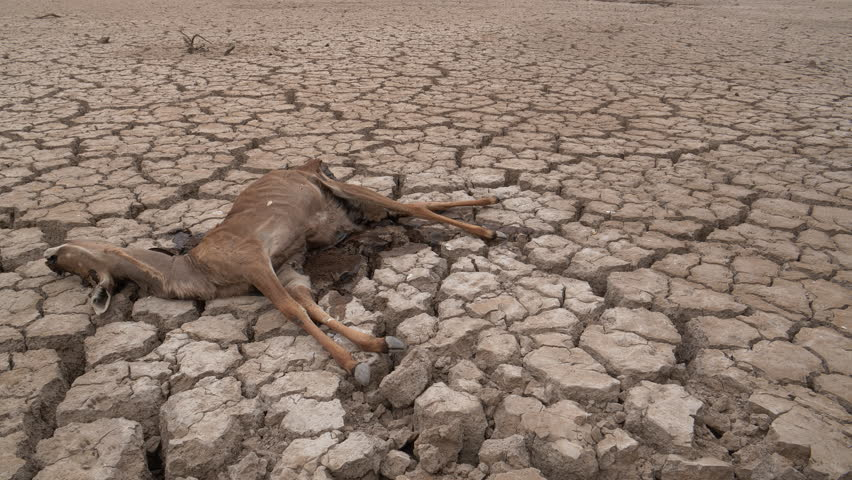 Climate change.close-up panning view of a dead antelope that died of thirst, lying on the cracked mud floor of a dam that has dried up due to a drought from climate change and global warming