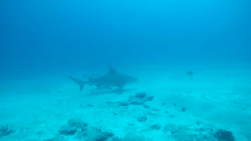 Bull shark swimming with remoras in the waters off Playa del Carmen. | Shutterstock HD Video #1025228075