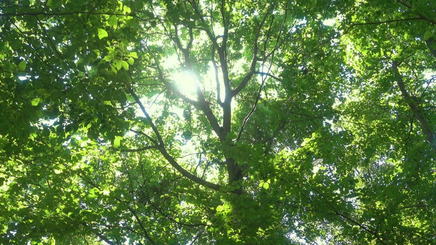 Sun in green forest through green leaves. | Shutterstock HD Video #1025232455