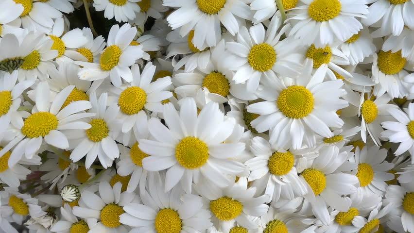 White daisy flowers    Shutterstock HD Video #1025294750