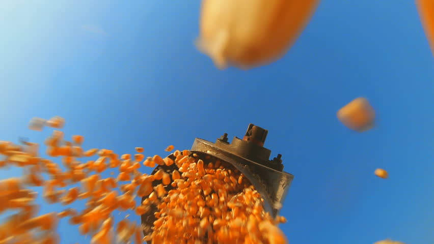 close up of corn grains falling form combine harvester in the truck with blue sky, Camera ant view
