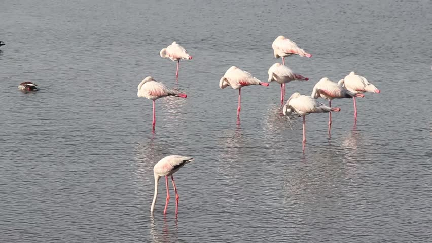 Beautiful Lesser Flamingo searching for food in lake water and a group of Lesser Flamingo sleeping in lake stock video FULL HD