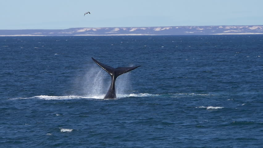 Southern right whale tail bashing in Patagonia, slow motion