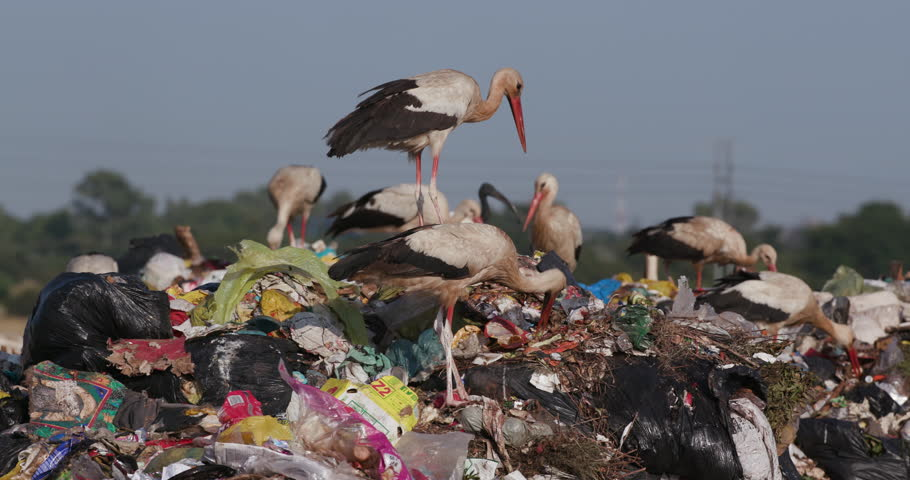 4K close-up view of a small group of European White Storks scavenging for food on a pile of garbage on a  landfill dump site | Shutterstock HD Video #1025547512