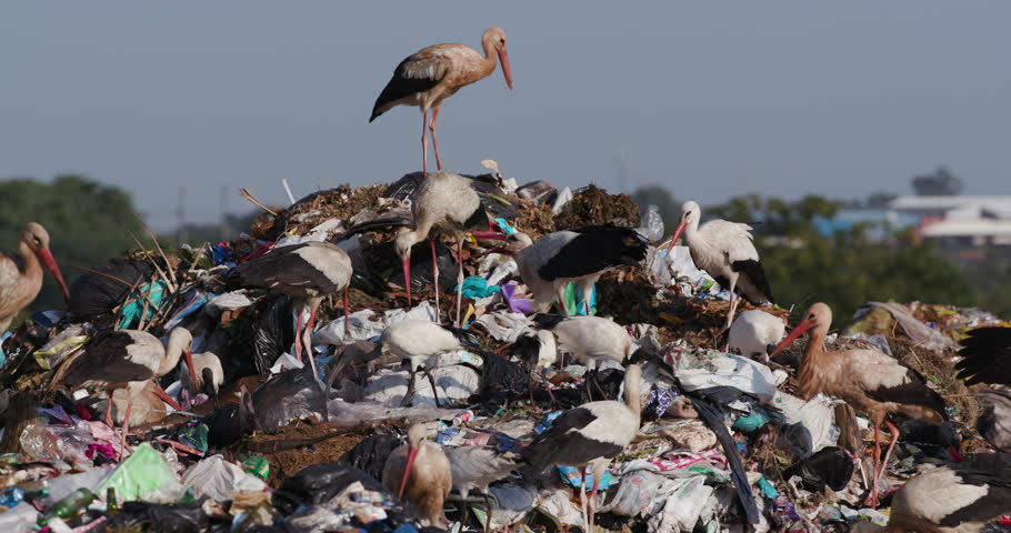 4K close-up view of a small group of European White Storks, Cattle Egrets and African Sacred Ibis scavenge for food on a landfill dump site | Shutterstock HD Video #1025548085