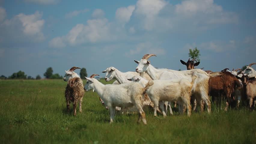 A cattle in the fields | Shutterstock HD Video #1025551904