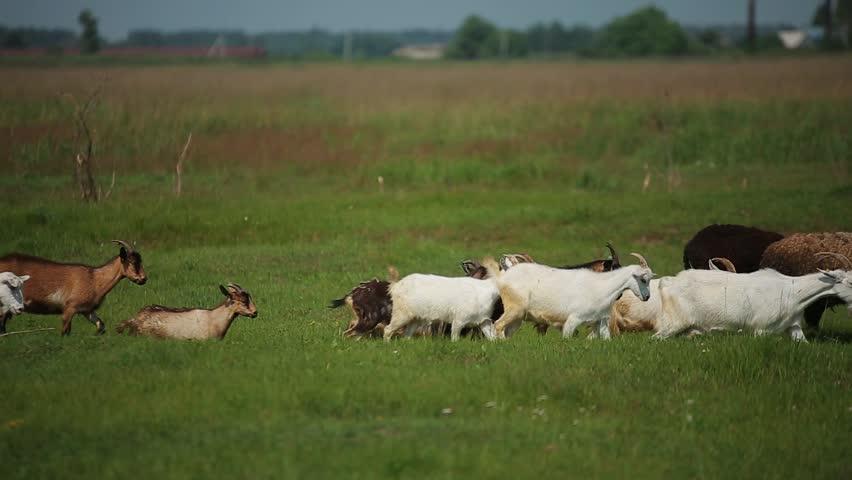 Farm animals in the fields | Shutterstock HD Video #1025600354