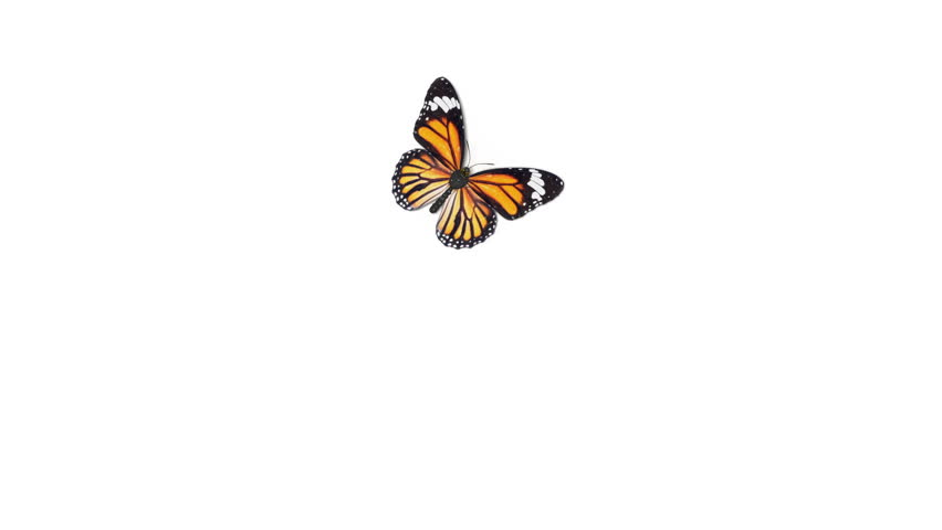 Beautiful Orange Colored Butterfly Monarch (Danaus Plexippus) Flying and Sitting on White and Green Backgrounds Close-up. Seamless 3d Animation with Green Screen Alpha Channel. 4k UHD 3840x2160.
