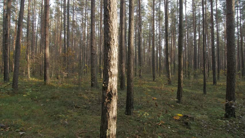 POV sideway shot of hiking through pine foret.   Shutterstock HD Video #1025651924