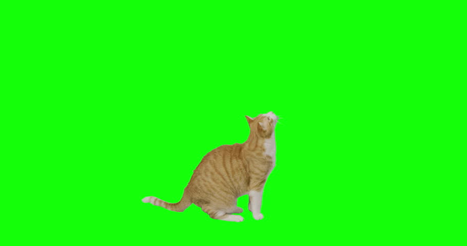 4k green screen slow motion footage of an orange cat trying to reach up. | Shutterstock HD Video #1025676116