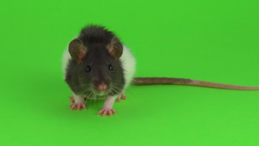 Rat green screen | Shutterstock HD Video #1025698106