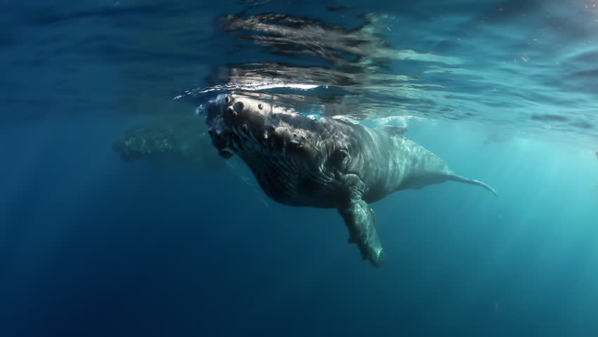 Close-up of humpback whale calf with mother underwater ocean. Idyll and harmony of family life of huge calm marine animals Megaptera Novaeangliae whale in pure transparent water of Reunion island.