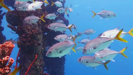 School of tropical fish (Trevally) and colorful corals under the pier. Scuba diving in the blue ocean, underwater video. Corals and fishes, marine wildlife.
