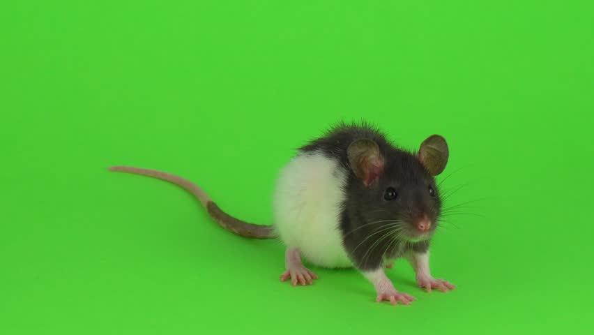 Rat on a green background | Shutterstock HD Video #1025817845