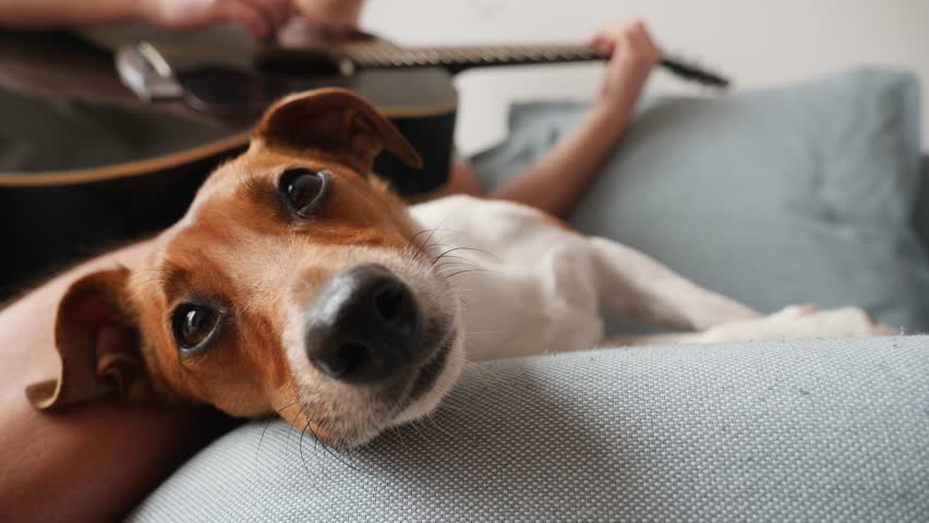 Cute small pet dog lie on a couch listening to guitar music relaxing | Shutterstock HD Video #1025825648