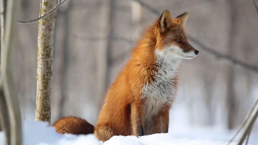 Kamchatka. Anadyr fox.